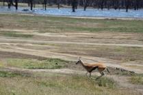 Running impala